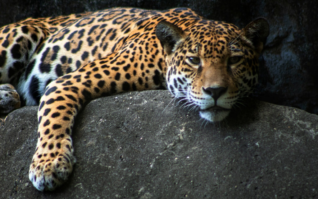 jaguar on rock, facing forward